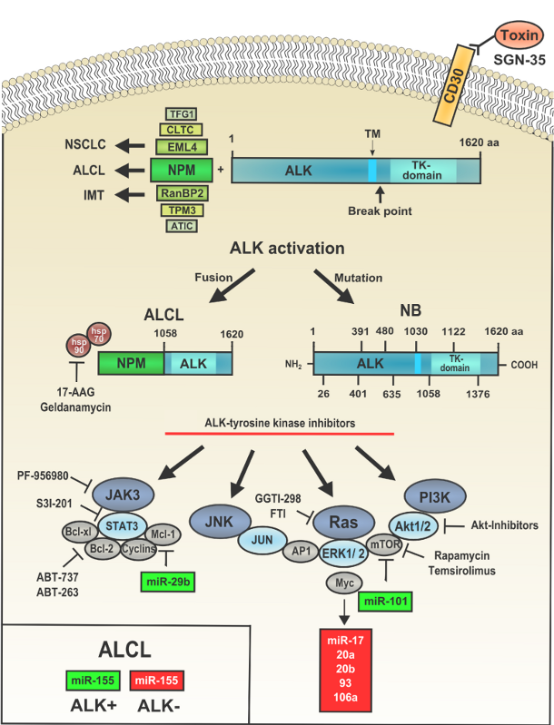 Figure 1: Pathways activated as a result of aberrant ALK expression in ALCL and other ALK-related cancers.